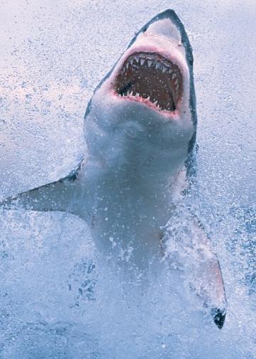 高清狂鲨跳跃海面图片